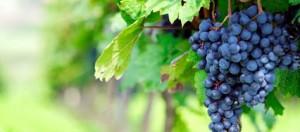 rubin grape